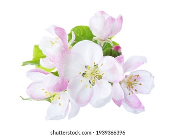 Closeup of branch with Apple blossoms isolated on white background