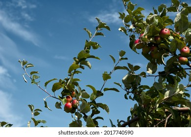 close-up of a branch of an apple tree with red apples. High quality photo - Shutterstock ID 2017740590