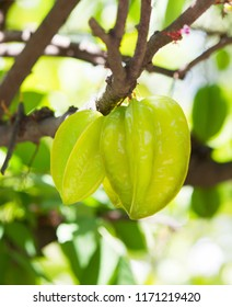 Closeup branch of Carambola or star fruit or Averrhoa carambola on tree, there is popular fruit in Southeast Asia.