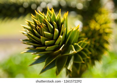 Closeup of a branch on a Monkey Puzzle Tree