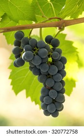 Closeup of a branch of red grapes vine with grapes cluster