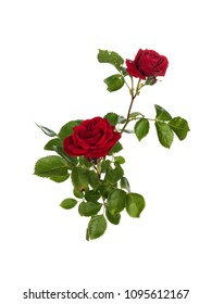 Closeup of a branch with red roses, isolated on white background.