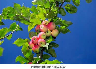 Close-up of the branch with ripe apples