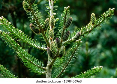 Close-up of branch and trunk with young cones of Abies koreana fir against blurred background of green evergreen garden. Selective focus. Concept of nature of North Caucasus for design
