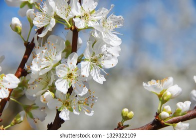 closeup of branch with white flowers
