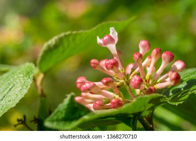 Close-up of branches with green ragged leaves and small pink flower buds on a sunny morning in spring.