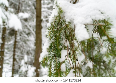 Closeup branches under the snow