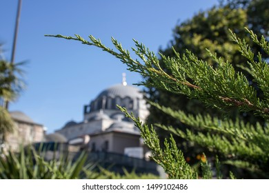 Close-up of branches of Western red cedar tree. Picture of blurred mosque in background.