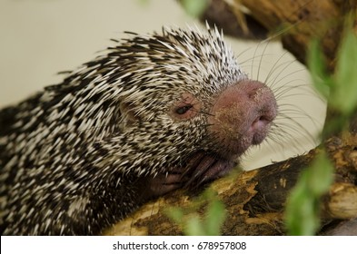 close-up of Brazilian porcupine (Coendou prehensilis) resting on the branch, strangely looking animal
