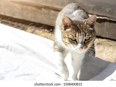 closeup bright beautiful cat walks towards the camera over white material, raises her paw and takes a step, moving cat in the garden outdoors, seasoned cat goes hunting
