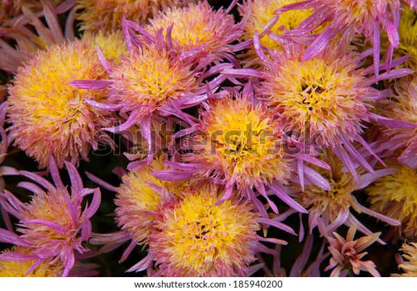 Close-up of bright colorful chrysanthemums