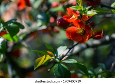 Close-up of bright flowering Japanese quince or Chaenomeles japonica. Red flowers cover branches on blurred garden. Spring sunny day. Selective focus. Interesting nature concept for design.