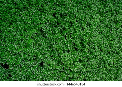 Close-up of bright green foliage boxwood Buxus sempervirens as the perfect natural backdrop for any  theme. Boxwood wall in natural conditions. Selective focus