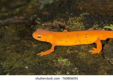 Closeup of bright orange Eastern newt, Notophthalmus viridescens, a salamander crawling along a moist rock at Lake Solitude on Mt. Sunapee in Newbury, New Hampshire.