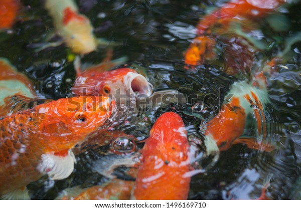 Close-up  bright orange red carps in Thailand . Group of fishes open mouth