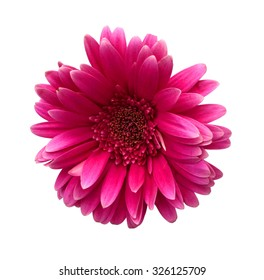 Close-up of bright pink Gerber Daisy with dew, isolated on white.