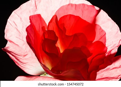 Close-up of a bright red poppy on black background