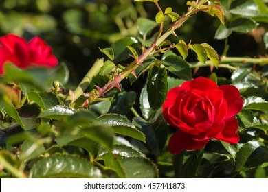 closeup of bright red rose in bloom