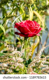 Close-up of the a bright red rose (genus Rosa)