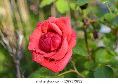 Close-up of a bright red rose (genus Rosa) with waterdrops on their petals.