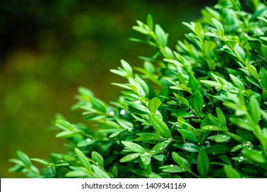 Close-up of bright shiny wet young green foliage of boxwood Buxus sempervirens as perfect backdrop for any natural theme. Boxwood wall in natural conditions. There is a place for your text.