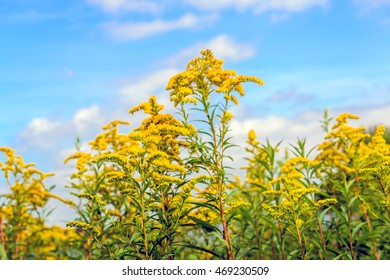 Closeup of bright yellow blossoming flower heads of  Goldenrod or Solidago plants against a blue sky. It's a sunny day in the summer season.