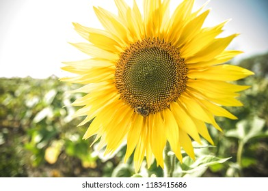 Closeup bright yellow fresh sunflower with bee