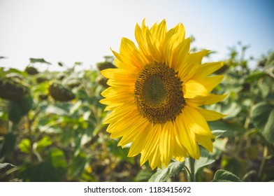Closeup bright yellow fresh sunflower with blurred field and sky background