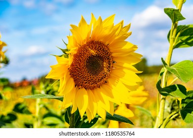 Close-up of a bright yellow sunflower (Helianthus annuus) against a blue sky.
