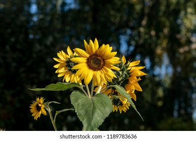 Close-up of a bright yellow sunflower (Helianthus annuus)