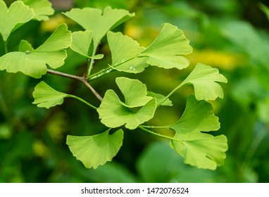 Close-up brightly green leaves of Ginkgo tree (Ginkgo biloba), known as ginkgo or gingko in soft focus against background of blurry foliage. The natural light of sunny day. Nature concept for design