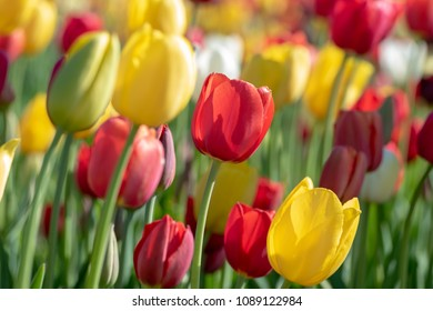 Close-up of brightly-colored tulips in peak bloom at a tulip farm.
