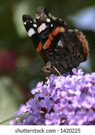 Close-up of a British Red Admiral butterfly (latin: Vanessa atalanta)