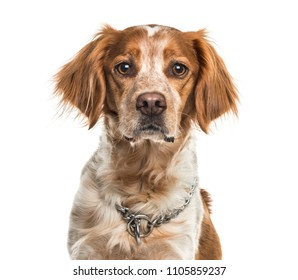 Close-up of a Brittany dog, isolated