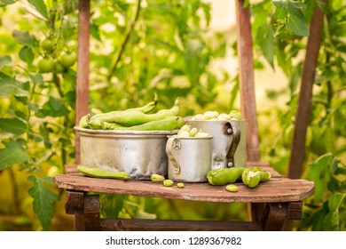 Closeup of broad beans in a small greenhouse