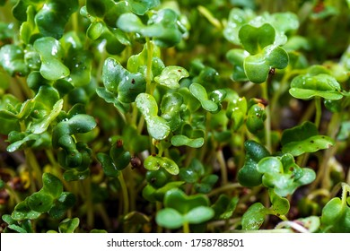 Close-up of broccoli microgreens in the black box. Sprouting Microgreens. Seed Germination at home. Vegan and healthy eating concept. Sprouted broccoli Seeds, Micro greens. Growing sprouts.
