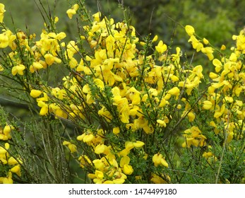 close-up of a broombush  in springtime