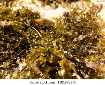 Closeup of brown algae or seaweed blooms at Castles, the far end of Kailua Beach on Oahu, Hawaii. Usually not found in the water here. Potentially an invasive species.