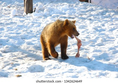 Closeup of a Brown Bear Cub in the snow with a bone in its mouth.