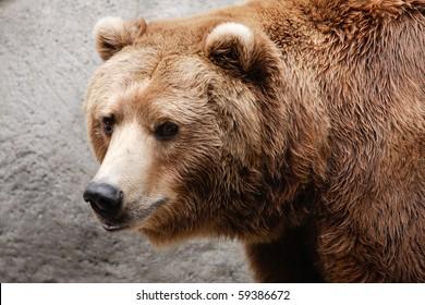 Closeup of brown bear head and shoulders.