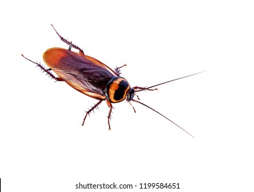 closeup brown cockroach isolated on white