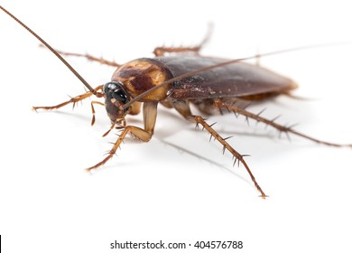 Close-up of brown cockroach isolated with white background