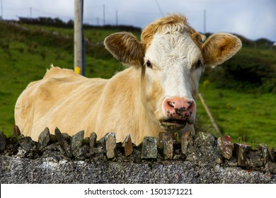 Close-up of Brown Cow Looking Over Stone Wall