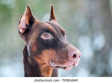 Close-up of a brown Dobermann dog head