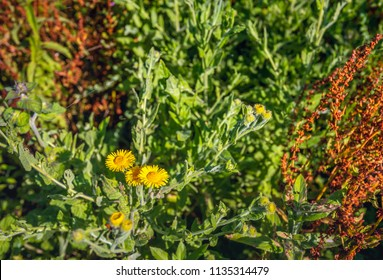 Closeup of brown Flowering Common Sorrel and yellow blooming Meadow False Fleabane next to each other in a Dutch nature reserve on a sunny evening in summertime.