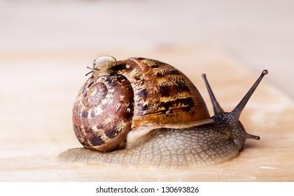 Closeup of brown Grapevine Snail Cornu Aspersum carrying a small snail on her back