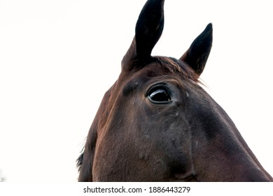 Close-up of a brown horse. Horse                        showing curiosity.