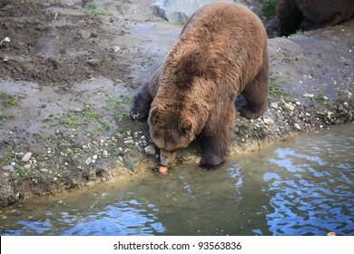closeup of a brown kodiak bear