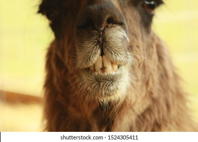 Closeup of a Brown Llama's Mouth