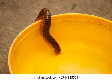 Close-up of a brown millipede on yellow plastic bowl. It's an animal with poisonous glands on both sides of the body, causing the skin to burn, redness and irritation due to hydrogen cyanide, phenol.